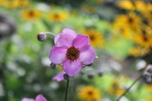 My Anemone
