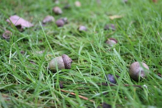Fallen Acorns