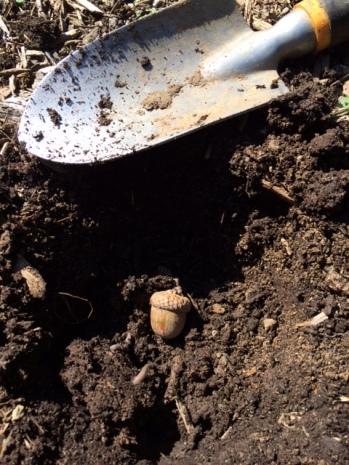 Planting Acorn